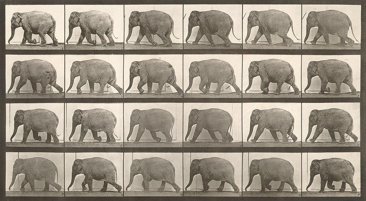 A collotype of an elephant walking taken by Eadweard Muybridge as part of his Animal Locomotion series.